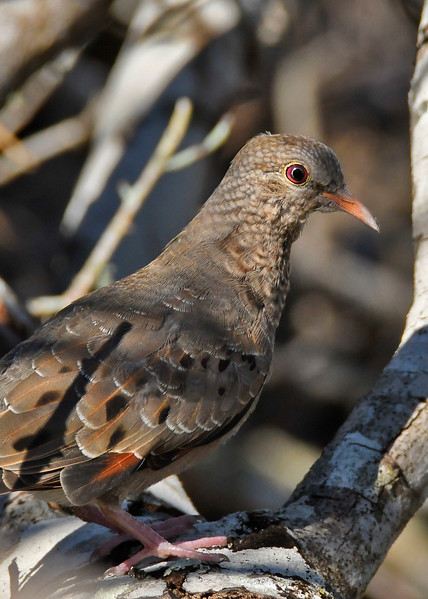 CommonGroundDove-OaklandNaturePreserveFL-11-16-17-SJS-004