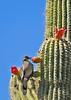 White-wingedDove-TucsonAZ-7-2-18-SJS-012
