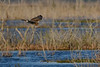 NorthernHarrier(female)-LAWD-1-21-19-SJS-006