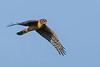 NorthernHarrier(female)-LAWD-1-25-19-SJS-005