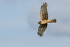 NorthernHarrier-EmeraldaMarsh-3-13-19-SJS-063
