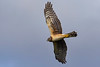 NorthernHarrier-EmeraldaMarsh-3-13-19-SJS-045