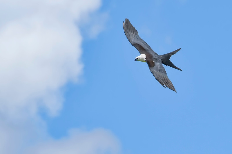 Swallow-TailedKite-LAWD-8-4-19-SJS-002