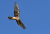 NorthernHarrier-PearParkFL-1-29-19-SJS-007