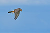 NorthernHarrier-EmeraldaMarshFL-11-18-18-SJS-104