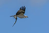 Osprey-NeedleFish-LAWD-11-23-18-SJS-05