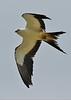 Swallow-tailedKites-Florida-7-24-18-SJS-004