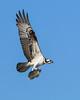 Osprey&Shad-EmeraldaMarsh-11-24-2020-sjs-002