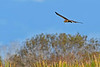 NorthernHarrier-EmeraldaMarshFL-11-18-18-SJS-030
