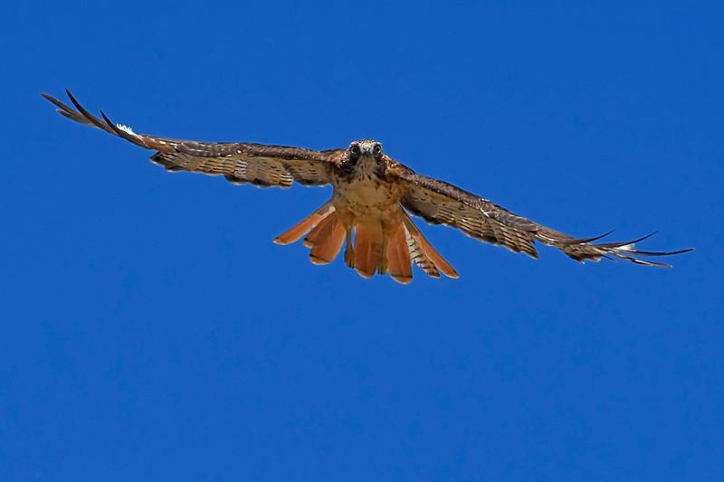 Red-TailedHawk-Utah-6-27-18-SJS-004
