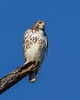 RedTailedHawk-PineMeadows-1-7-20-SJS-010