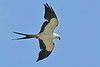 Swallow-TailedKite-LAWD-7-13-18-SJS-016