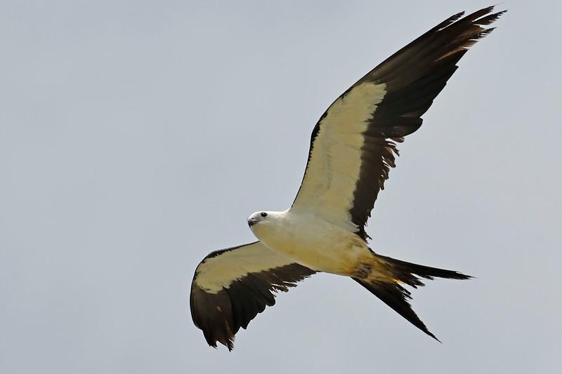 Swallow-tailedKites-Florida-7-24-18-SJS-002