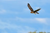 NorthernHarrier-EmeraldaMarshFL-11-18-18-SJS-065