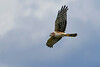 NorthernHarrier-EmeraldaMarsh-3-14-20-SJS-006