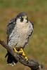 PeregrineFalcon-AvianReconditioningCenterFL-11-11-17-SJS-002