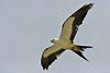 Swallow-tailedKites-Florida-7-24-18-SJS-003
