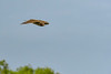 NorthernHarrier-EmeraldaMarsh-3-13-19-SJS-049