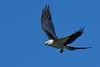 SwallowtailedKite-LAWD-7-24-20-sjs-006