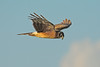 NorthernHarrier-LAWD-12-25-16-SJS-003