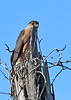 CoopersHawk-OcalaNationalForest-12-5-18-SJS-005