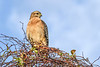 RedShoulderedHawk-PineMeadows-1-24-20-SJS-003