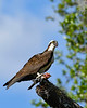 Osprey-EmeraldaMarsh-3-14-20-SJS-004