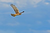 NorthernHarrier-EmeraldaMarshFL-11-18-18-SJS-091
