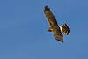 NorthernHarrier-EmeraldaMarsh-3-14-20-SJS-014