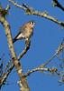 AmericanKestrel(male)-OcalaWetlandRP-10-30-20-sjs-06