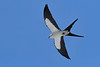 SwallowtailKite-SunnyhillRestorationArea-4-30-20-SJS-01