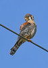 AmericanKestrel(male)-EmeraldaMarsh-11-14-20-sjs-008
