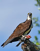 Osprey-EmeraldaMarsh-3-14-20-SJS-003