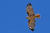 Red-TailedHawk-Utah-6-27-18-SJS-011