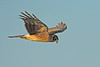 NorthernHarrier-LAWD-12-25-16-SJS-002