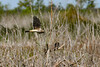 NorthernHarrier-LAWD-3-7-20-SJS-001