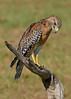 RedShoulderedHawk-AvianReconditioningCenterFL-11-11-17-SJS-001