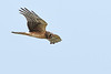 NorthernHarrier-LakeYale-11-8-20-sjs-04