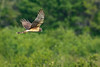 NorthernHarrier-EmeraldaMarsh-3-13-19-SJS-015
