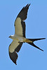 Swallow-TailedKite-LAWD-7-13-18-SJS-001