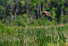 NorthernHarrier-EmeraldaMarsh-3-13-19-SJS-006