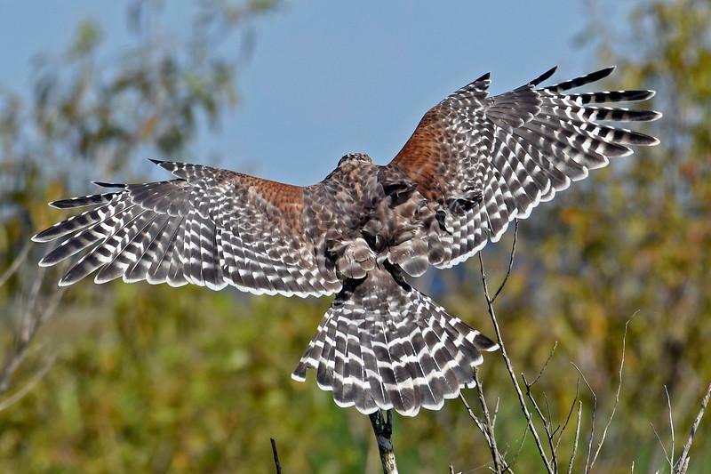Red-shoulderedHawk-LAWD-8-4-18-SJS-010