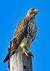 Red-TailedHawk-LakeCoFL-7-20-19-SJS-001