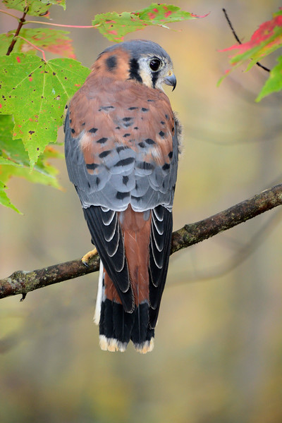 AmericanKestrel-male-2015-sjs-002