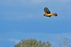 NorthernHarrier-EmeraldaMarshFL-11-18-18-SJS-060