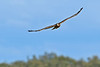 NorthernHarrier-EmeraldaMarshFL-11-18-18-SJS-048