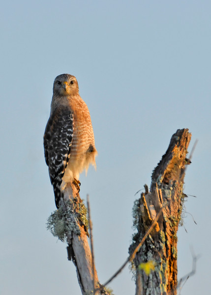Red-ShoulderedHawk-EmeraldaMarshFL-11-21-18-SJS-02