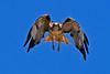 Red-TailedHawk-Utah-6-27-18-SJS-005