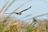 NorthernHarrier-EmeraldaMarsh-1-25-20-SJS-006