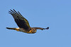 NorthernHarrier(female)-LAWD-1-25-19-SJS-007